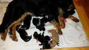hovawart pups